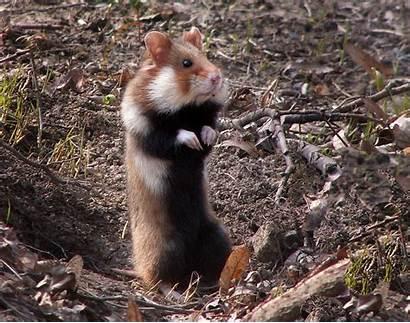 Wikipedia Hamster
