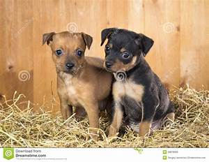 Two Russian Toy Terrier Puppies Stock Photo - Image of ...