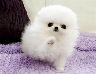 Pomeranian Teacup Puppies Healthy