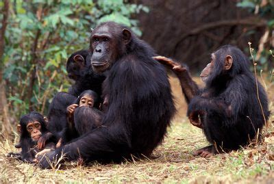chimp family fortune programs animal planet