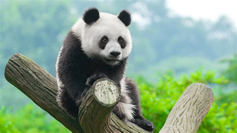 wallpaper panda cute animals  animals