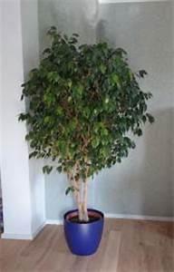 Ficus Benjamini Kaufen : wundersch ners avocadobaum in esslingen pflanzen kaufen und verkaufen ber private kleinanzeigen ~ A.2002-acura-tl-radio.info Haus und Dekorationen