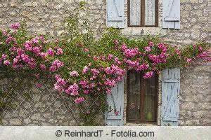 Kletterrosen Richtig Pflanzen : kletterrosen richtig zur ckschneiden ~ Markanthonyermac.com Haus und Dekorationen