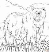 Bear Coloring Grizzly Pages Alaskan Printable Drawing Crafts sketch template
