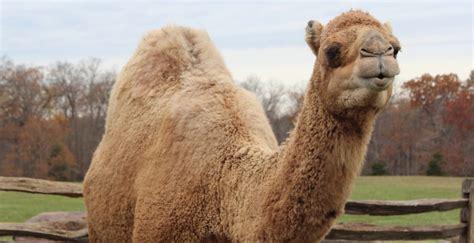 Camel Images On Wallpaperget.com