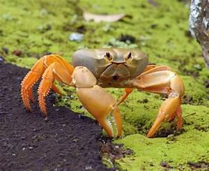 Terrestrial Crab