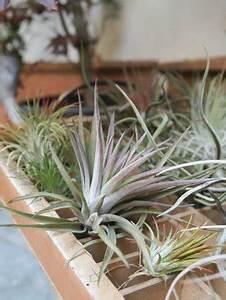 Tillandsia ionantha, piante senza radici che vivono senza terra Foto di Miso di Riso, Firenze