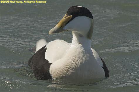 Iceland Ducks Photo Gallery