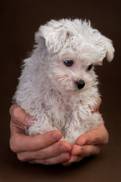 The Super Cute Poodle Puppies Wondrous