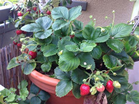 erdbeeren schoener balkon