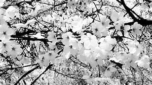 Dessin Fleur De Cerisier Japonais Noir Et Blanc : printemps fleurs de cerisier noir et blanc blossom spring ~ Melissatoandfro.com Idées de Décoration