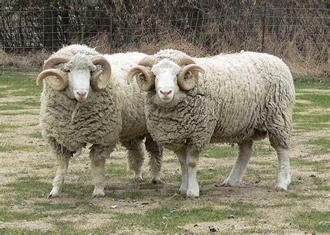 Horned Dorset Sheep
