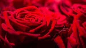 1 Rote Rose Bedeutung : tipps zum valentinstag achtung rose ist nicht gleich rose ~ Whattoseeinmadrid.com Haus und Dekorationen