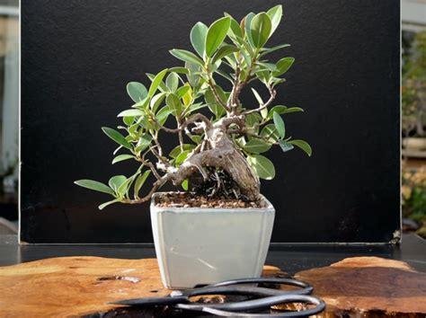 ficus microcarpa ou ficus bonsa 239 ficus ginseng culture et entretien