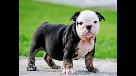 black tri english bulldog puppies  sale mauiexpo kennel