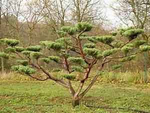Arbre En Nuage : tout savoir sur la taille des arbres en nuage ~ Melissatoandfro.com Idées de Décoration