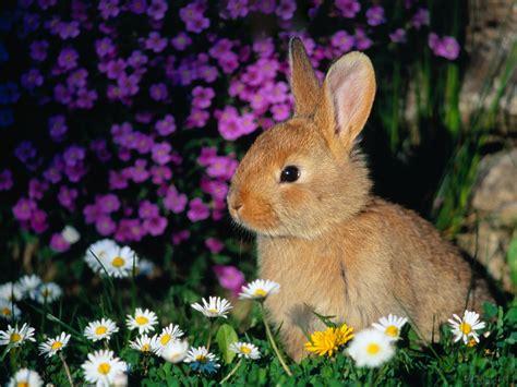 animals wallpapers cute rabbits  bunnies wallpaper