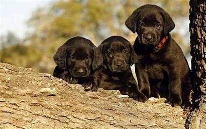 Labrador Puppies Desktop Wallpapers Retriever Lab Puppy