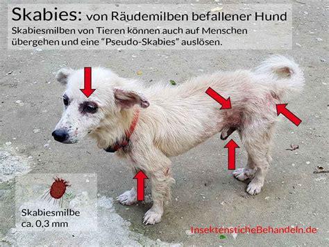 Mittel Gegen Flöhe Beim Menschen by Mittel Gegen Grasmilben Hund Hilfe Probleme Hunde Fl He