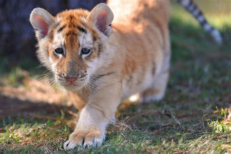 Golden Tabby Tiger Cub Photo Tigers Cat Pics