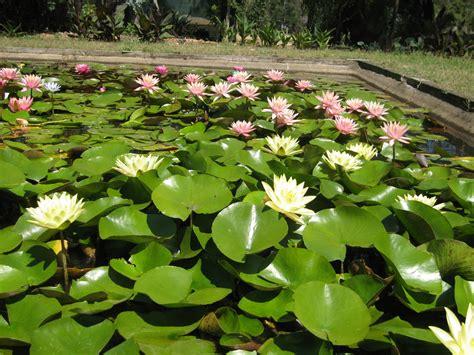 plant pots for sale growing water lilies water plants wallis creek watergarden