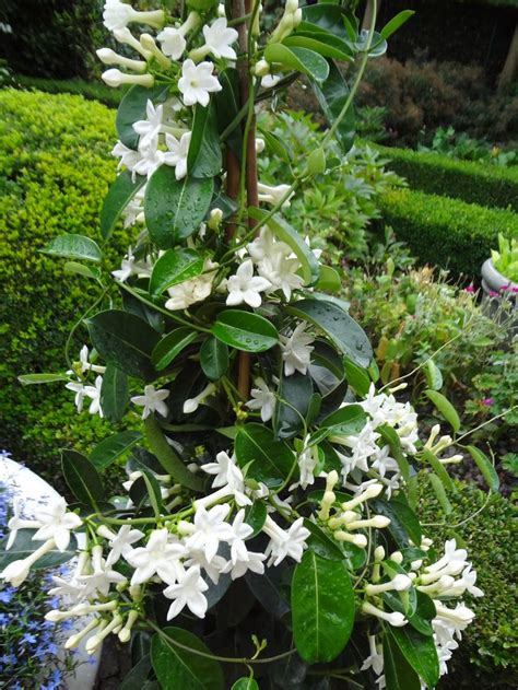 22 Best Images About Jasmine Plants On Pinterest White