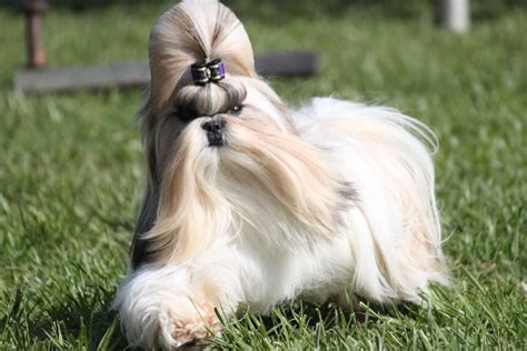 small dog breeds that don t shed hard dog breeds puppies