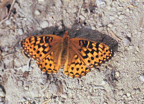 Fritillary Butterfly, possibly western meadow fritillary ...