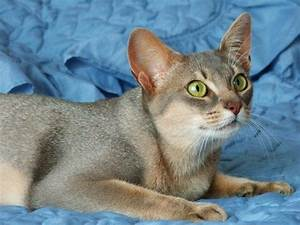 Blue Abyssinian | COOLROOM for Cats | Pinterest