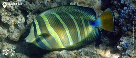 kapalua bay snorkeling tang sailfin pacific hawaii