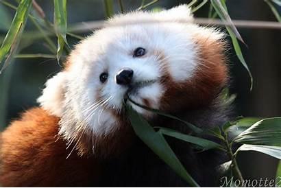 Panda Face Momotte2 Sweetest Wallpapers Wallpapersafari Deviantart