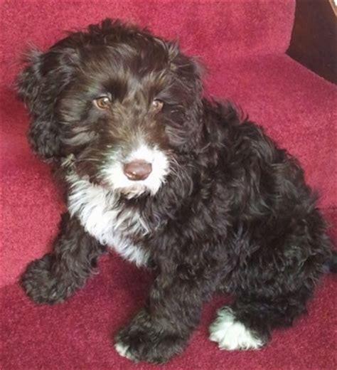 Springer Spaniel Non Shedding by Springerdoodle Puppy Springer Spaniel Poodle