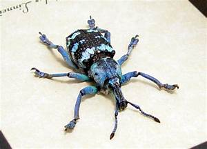 Eupholus linnei - Blue Banded Snout Weevil | Real ...
