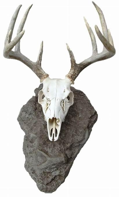 Deer Skull Mount Animal Skulls Skeletons Elk