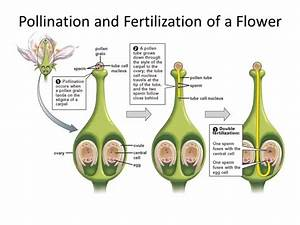 What is the difference between pollination & fertilization ...