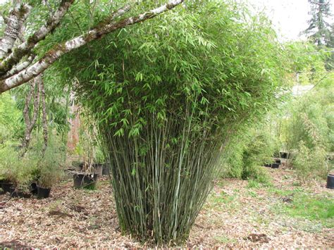 bamboo varieties 1000 images about garden on pinterest growing blueberries elephant ears and clumping bamboo