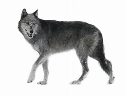 Walking Wolf Away Clipart Animal Studies Jill