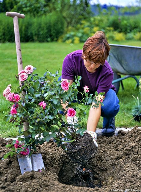 planter un rosier en pot planter un rosier anglais fiche pratique d 233 tente jardin