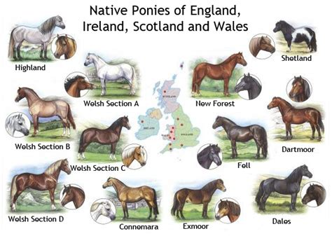 breeds pony native horse ponies welsh british bendy horses shetland should exmoor dartmoor characteristics england clubs connemara poster dog syllabus