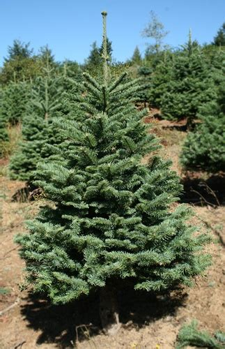 noble pine christmas tree 3 5 to 4 ft noble fir christmas tree 1514