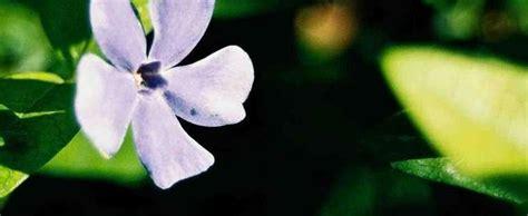 Common Periwinkle, Creeping Myrtle, Flowerofdeath Vinca