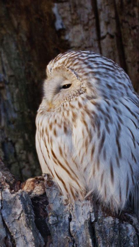 ural owl perching  nest cavity hokkaido japan