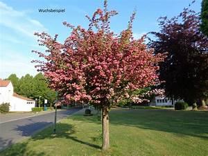Johannisbeeren Hochstamm Kaufen : rotdorn kleinbaum f r geringen platzbedarf kaufen ~ Lizthompson.info Haus und Dekorationen