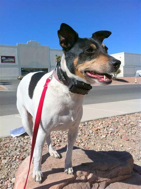 austin texas dog training jack rat terrier