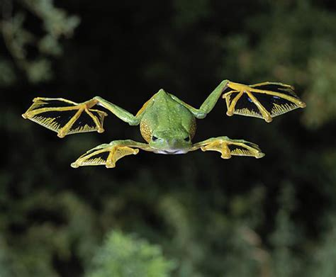 rana volante the flying frog the meta picture