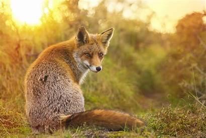 Fox Facts Foxes Animals Fennec Species Verletztes