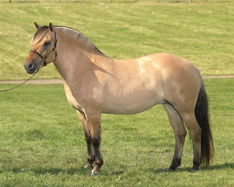 Fjord Pony by Fjord Horse On Pinterest Horses Ponies And Draft Horses