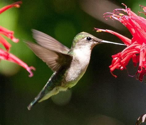 environmental almanac appreciating hummingbirds in illinois