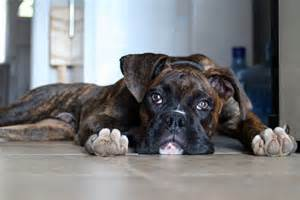 Brindle Boxer Puppies Dog