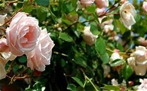 Support Pour Rosier Grimpant : tuteurs rosiers ~ Premium-room.com Idées de Décoration